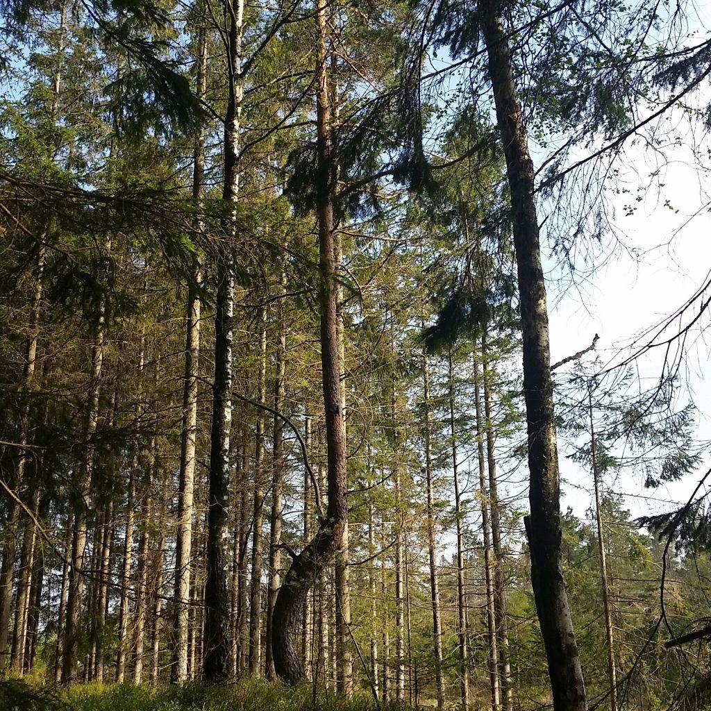 Naaldbomen- en berkenbos in Zweden