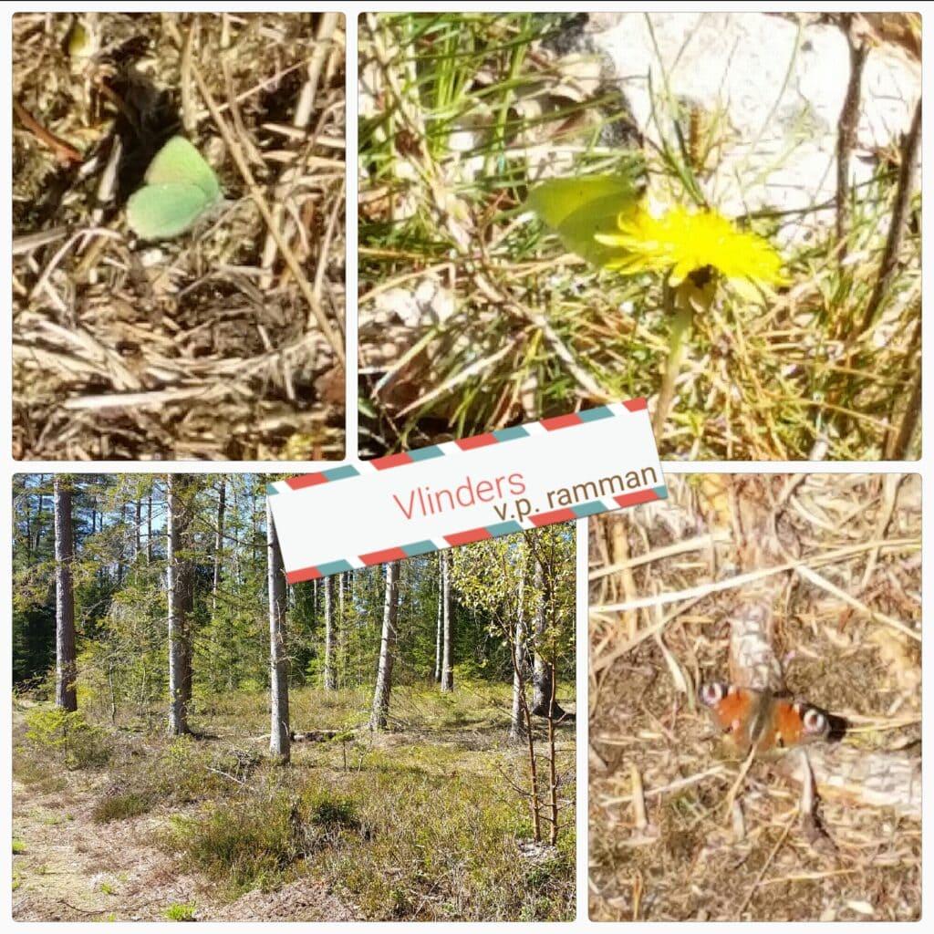 Vlinders in de 'tuin' van Zweeds Huisje in Munkedal