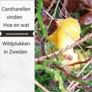 Cantharellen vinden - Hoe en wat bij in het wild plukken